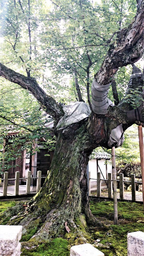 長光寺のハナノキ