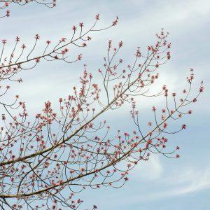 長光寺のハナノキの花
