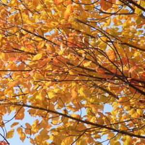 花ノ木の紅葉