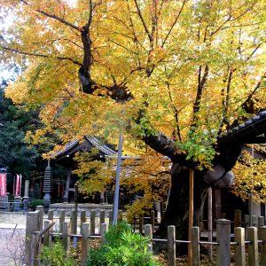 天然記念物 長光寺のハナノキ 紅葉