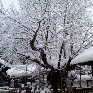 天然記念物 長光寺のハナノキ 雪景色