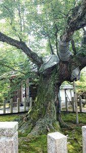 長光寺の花ノ木 天然記念物